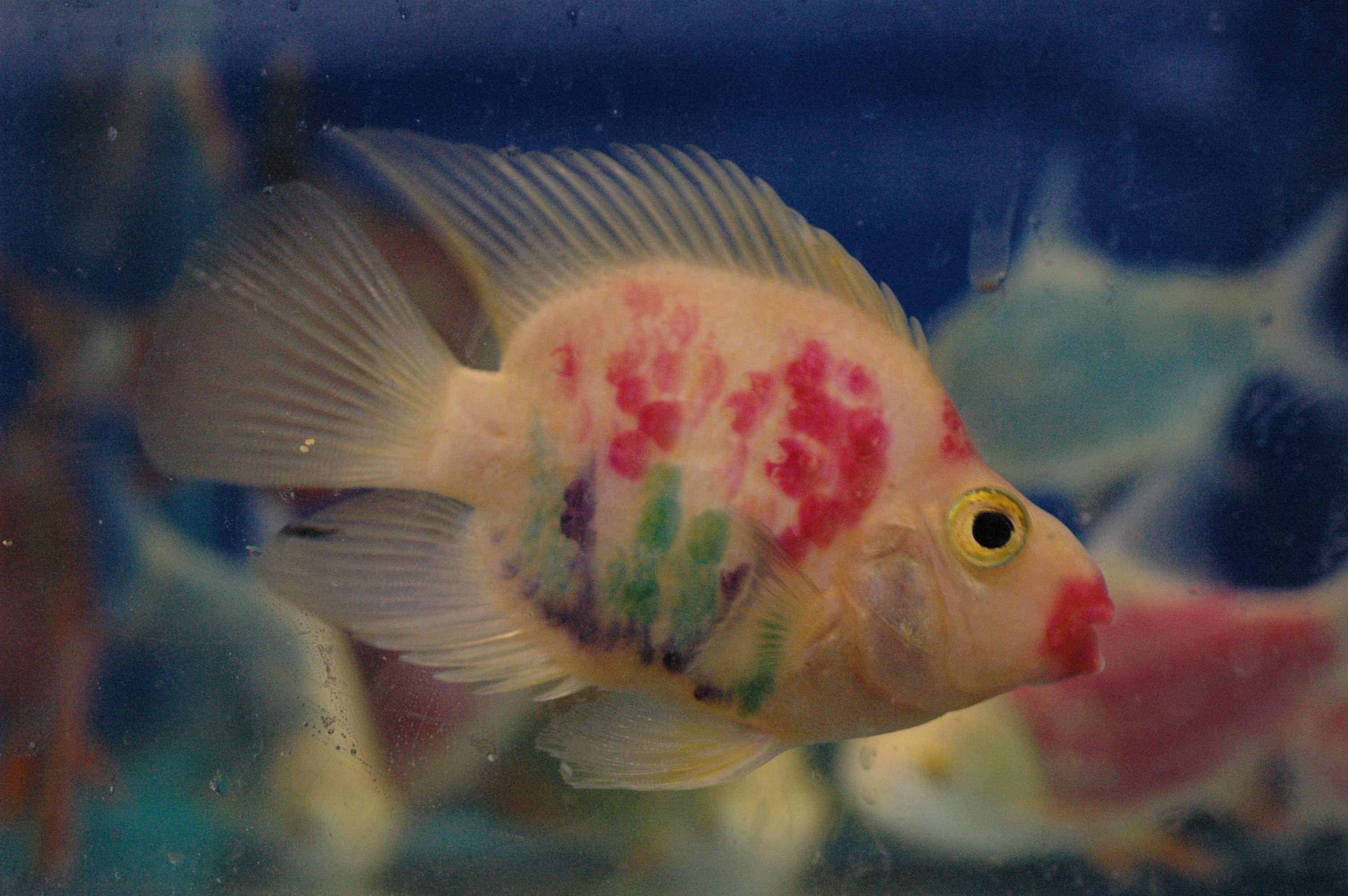 Cichlid Research Home Page Parrot Cichlids