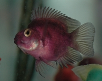 Purple parrot cichlid